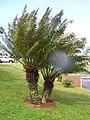 Starr-060507-8083-Cycas circinalis-habit-Eddie Tam Makawao-Maui (24495608939).jpg