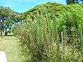 Starr-060820-8602-Conyza bonariensis-habit along fence-Makawao-Maui (24496733119).jpg