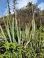 Starr-070405-6788-Phormium tenax-habit-Munro Trail-Lanai (24260403423).jpg