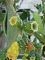 Starr-080531-4881-Opuntia cochenillifera-fruit forming-Halsey Dr around residences Sand Island-Midway Atoll (24543301099).jpg