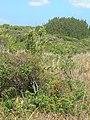 Starr-090526-9268-Cassytha filiformis-on akia-West Poelua West Maui-Maui (24661680060).jpg