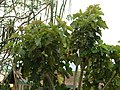 Starr-090608-9052-Jatropha curcas-habit-Waikapu-Maui (24332196194).jpg