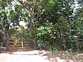 Starr-090617-0870-Sandoricum koetjape-habit-Ulumalu Haiku-Maui (24334314854).jpg