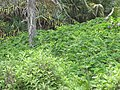 Starr-090618-1189-Tetrapanax papyrifer-thicket-Keanae-Maui (24339023133).jpg