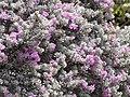 Starr-090806-3884-Leucophyllum frutescens-flowers and leaves-Wailuku-Maui (24340933964).jpg