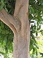 Starr-090806-3966-Cupaniopsis anacardioides-bark-Wailuku-Maui (24341092284).jpg