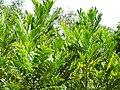 Starr-090814-4380-Filicium decipiens-leaves-Puanani o Kula nursery Kihei-Maui (24676849440).jpg
