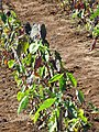Starr-091020-8372-Colocasia esculenta-horticulture varieties-Kula Experiment Station-Maui (24960143656).jpg