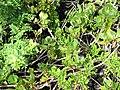 Starr-091104-0711-Scaevola coriacea-habit with ulei-Kahanu Gardens NTBG Kaeleku Hana-Maui (24869312262).jpg