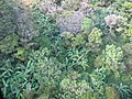 Starr-091112-9506-Musa x paradisiaca-Iholena aerial view-West Maui-Maui (24621955839).jpg