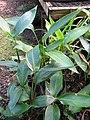 Starr-110215-1154-Heliconia psittacorum-habit-KiHana Nursery Kihei-Maui (25075734975).jpg