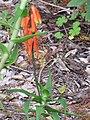 Starr-110307-2142-Aloe ciliaris-flowering habit-Kula Botanical Garden-Maui (24450820323).jpg