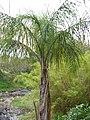 Starr-110307-2724-Syagrus romanzoffiana-habit-Kula Botanical Garden-Maui (25078685505).jpg