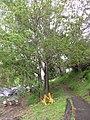 Starr-110307-2922-Fraxinus uhdei-habit-Kula Botanical Garden-Maui (24985705561).jpg