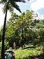 Starr-110330-4057-Cinnamomum verum-habit-Garden of Eden Keanae-Maui (25054830466).jpg