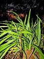 Starr-110422-5199-Dianella sandwicensis-habit at night with sunset-Hawea Pl Olinda-Maui (24715206499).jpg