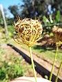 Starr-131216-2789-Daucus carota subsp sativus-seedhead-Hawea Pl Olinda-Maui (24932897140).jpg