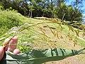 Starr-141025-2470-Panicum antidotale-seedhead and leaves-Kawela Bridge-Molokai (25129502752).jpg