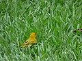 Starr-180406-0740-Paspalum conjugatum-with saffron finch-DOFAW Arboretum Hilo-Hawaii (40655944544).jpg