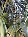 Starr 010330-0588 Livistona chinensis.jpg