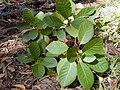 Starr 020501-0037 Cinchona pubescens.jpg