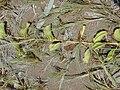 Starr 030923-0381 Ipomoea pes-caprae subsp. brasiliensis.jpg