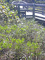 Starr 031108-0250 Dodonaea viscosa.jpg