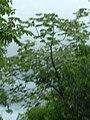 Starr 031118-0093 Cecropia obtusifolia.jpg