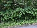 Starr 040209-0319 Piper auritum.jpg