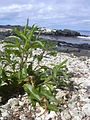Starr 040410-0053 Myoporum sandwicense.jpg