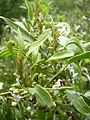 Starr 040410-0132 Myoporum sandwicense.jpg