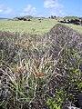 Starr 040423-0120 Cyperus javanicus.jpg
