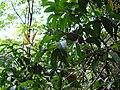 Starr 041214-1528 Nestegis sandwicensis.jpg