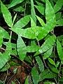 Starr 050415-0054 Oplismenus hirtellus (cropped).jpg