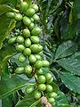 Starr 070308-5470 Coffea arabica.jpg