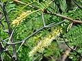 Starr 070404-6610 Prosopis juliflora.jpg
