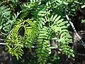 Starr 070404-6615 Prosopis juliflora.jpg