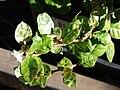 Starr 080103-1168 Trachelospermum asiaticum.jpg