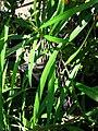 Starr 080103-1220 Thevetia peruviana.jpg