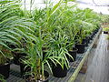 Starr 080326-3791 Chrysalidocarpus lutescens.jpg