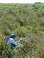 Starr 080605-6481 Solanum nelsonii.jpg