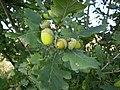 Stary-Patok-acorns-090906.jpg