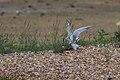 Sterna hirundo -Rutland Water, Rutland, England -mating-8.jpg