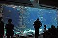 Stralsund, Meeresmuseum, am großen Aquarium, unten (2012-04-10) 1, by Klugschnacker in Wikipedia.jpg