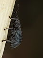 Strawberry blossom weevil (9456290335).jpg