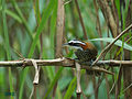 Streak-breasted Scimitar Babbler 1055.jpg