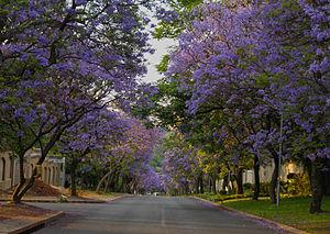 Bryanston, Gauteng - Street lined with Jacarandas in Bryanston