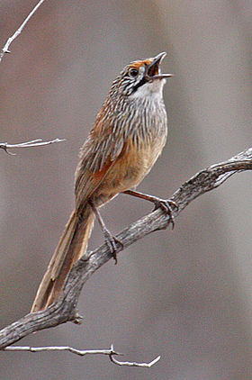 Striated Grasswren (Amytornis striatus) with beak open.jpg