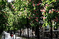 Strolling down the Boulevard Arago beneath the chestnut trees in blossom.jpg