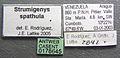 Strumigenys spathula casent0178645 label 1.jpg